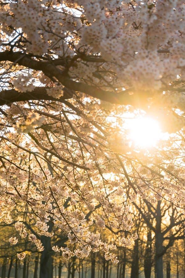Άνθη κερασιών άνοιξης στοκ εικόνα