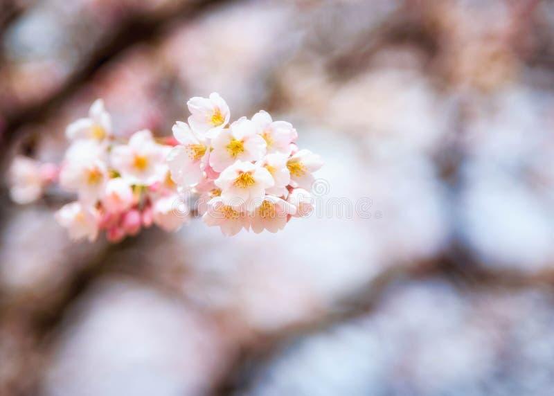Άνθη κερασιών άνοιξη με το μαλακό φίλτρο εστίασης στοκ εικόνες