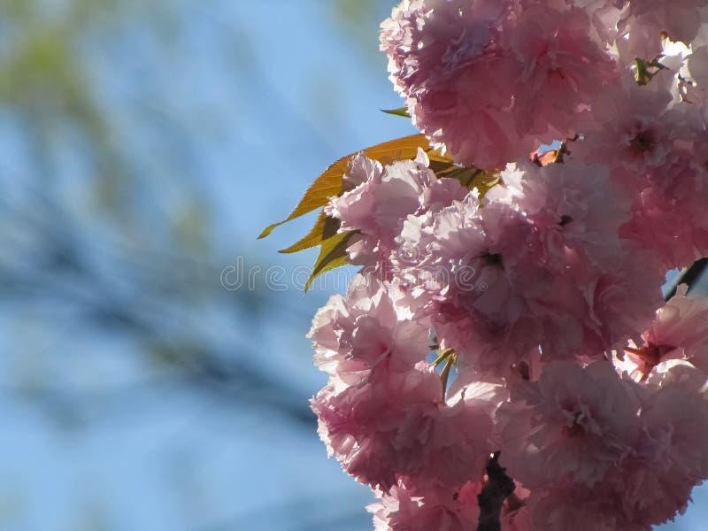Άνθη κερασιών από κάτω από με τον ουρανό Backgrond στοκ φωτογραφία