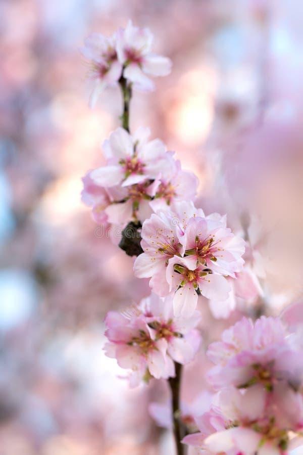 Άνθη κερασιών με τα φω'τα στοκ εικόνες με δικαίωμα ελεύθερης χρήσης