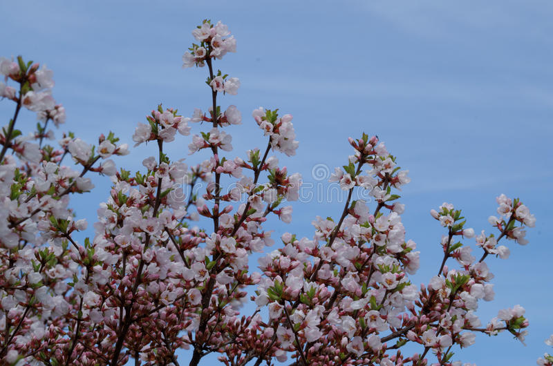 Άνθη κερασιών με το υπόβαθρο μπλε ουρανού στοκ φωτογραφία με δικαίωμα ελεύθερης χρήσης