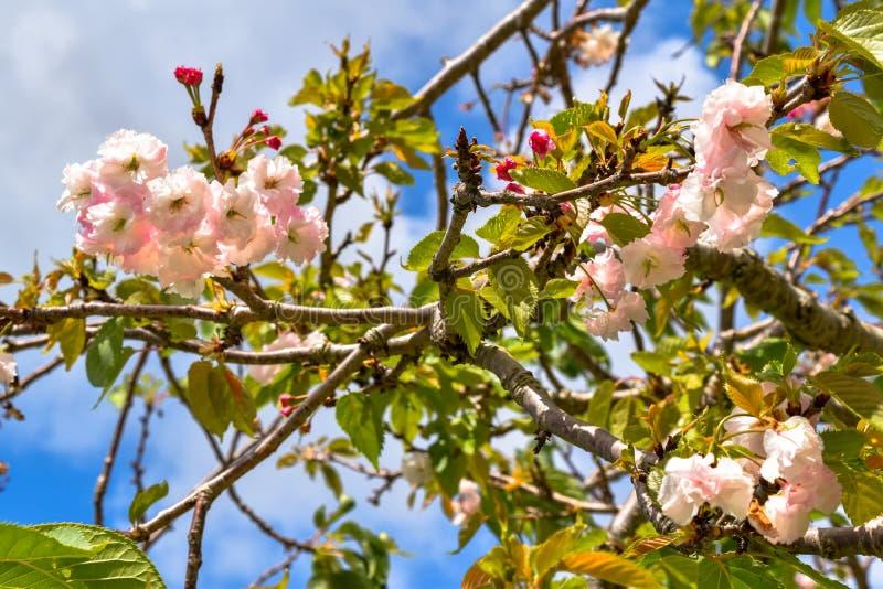 Άνθη κερασιών με όλα τα ρόδινα λουλούδια στοκ εικόνα