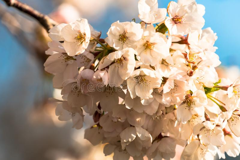 Άνθη κερασιών ξημερωμάτων στην πλήρη άνθιση στοκ εικόνες με δικαίωμα ελεύθερης χρήσης