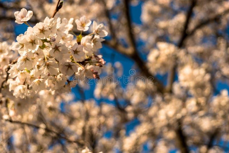 Άνθη κερασιών ξημερωμάτων στην πλήρη άνθιση στοκ φωτογραφία με δικαίωμα ελεύθερης χρήσης