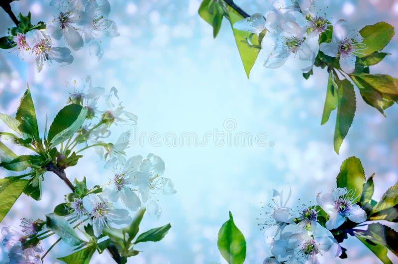 Άνθη κερασιών πέρα από το μπλε υπόβαθρο στοκ φωτογραφία με δικαίωμα ελεύθερης χρήσης