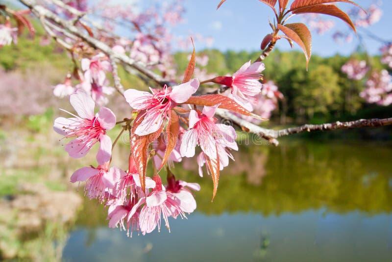 Άνθη κερασιών στη φύση στοκ εικόνες με δικαίωμα ελεύθερης χρήσης