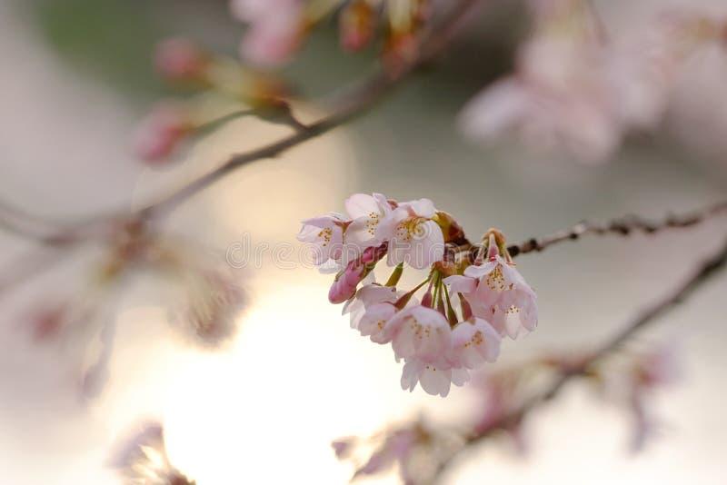 Άνθη κερασιών, sakura στα ιαπωνικά, στο φως βραδιού στην Ιαπωνία στοκ εικόνα με δικαίωμα ελεύθερης χρήσης