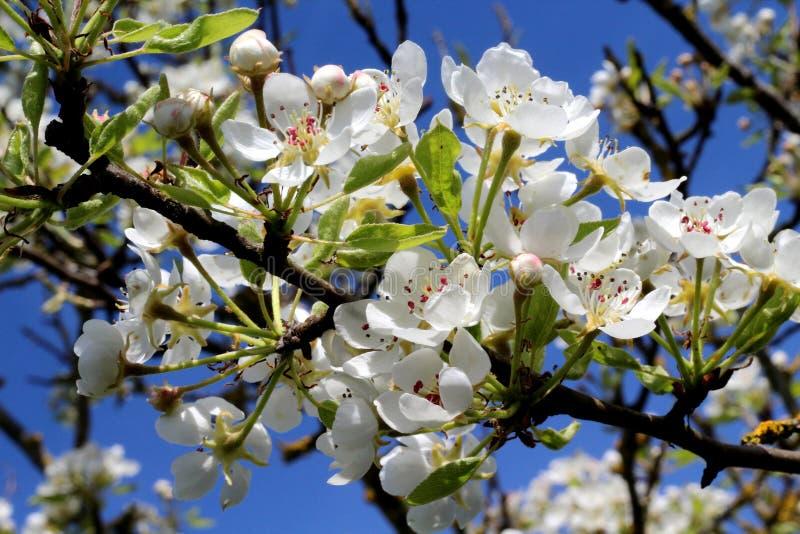 Άνθη μήλων κινηματογραφήσεων σε πρώτο πλάνο στοκ εικόνες