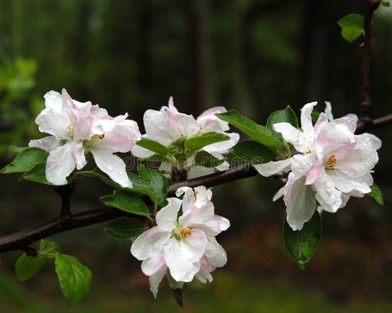 άνθη μήλων στοκ εικόνες