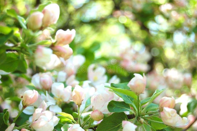 Download άνθη μήλων στοκ εικόνες. εικόνα από οπωρώνας, καρπός - 22775490