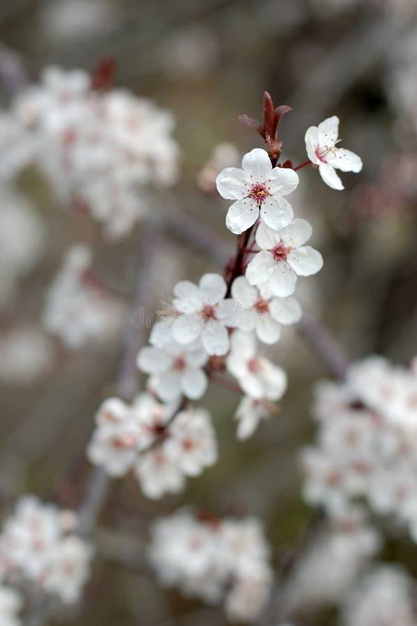 άνθη μήλων στοκ φωτογραφίες