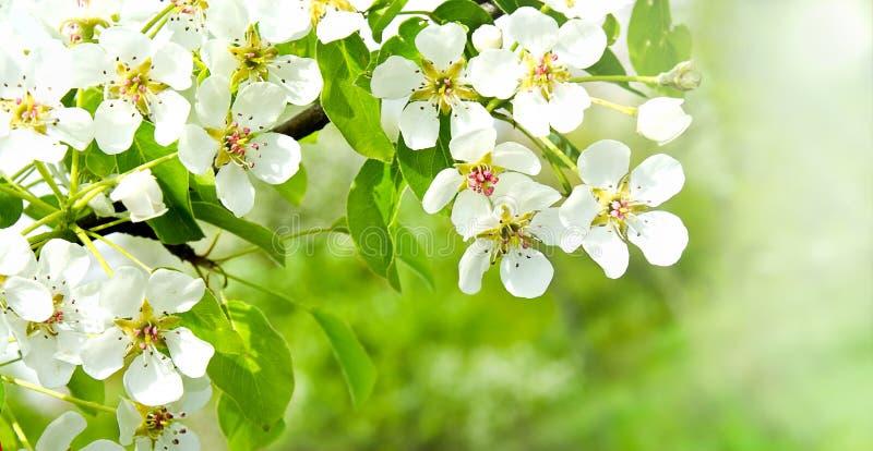 Άνθη μήλων κερασιών πέρα από το υπόβαθρο φύσης στοκ φωτογραφίες με δικαίωμα ελεύθερης χρήσης