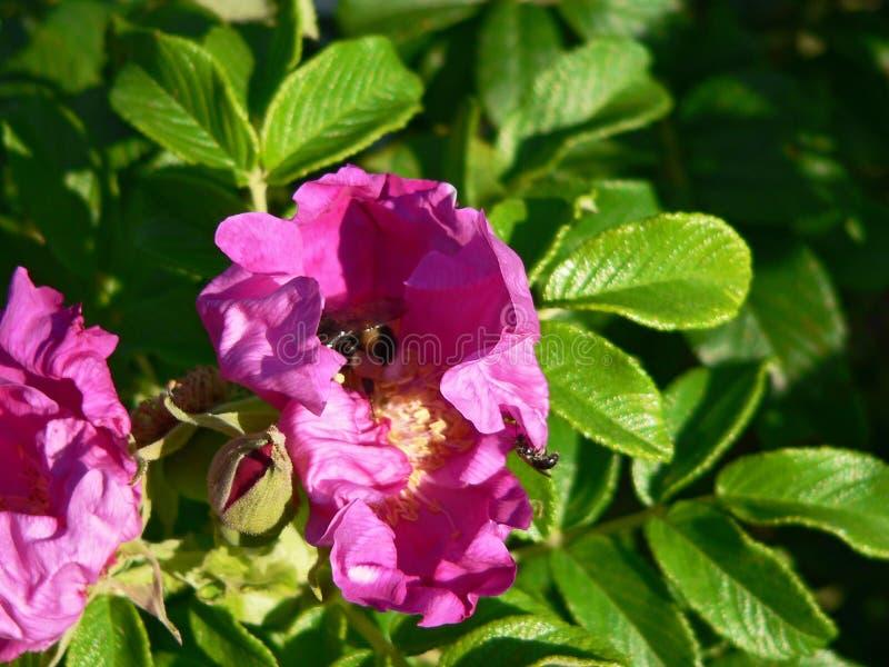 Άνθη ροδαλών θάμνων στοκ εικόνα με δικαίωμα ελεύθερης χρήσης