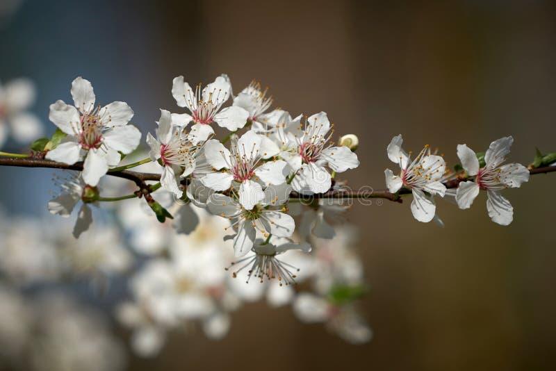 Άνθη σε ένα άγριο δέντρο κερασιών στοκ εικόνα