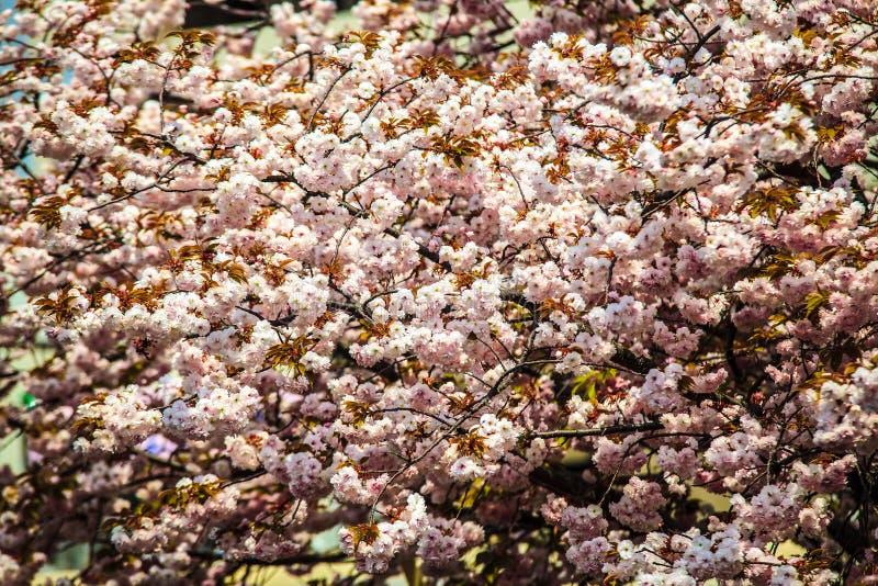 Άνθη τάφρων και κερασιών του Κιότο στοκ φωτογραφίες