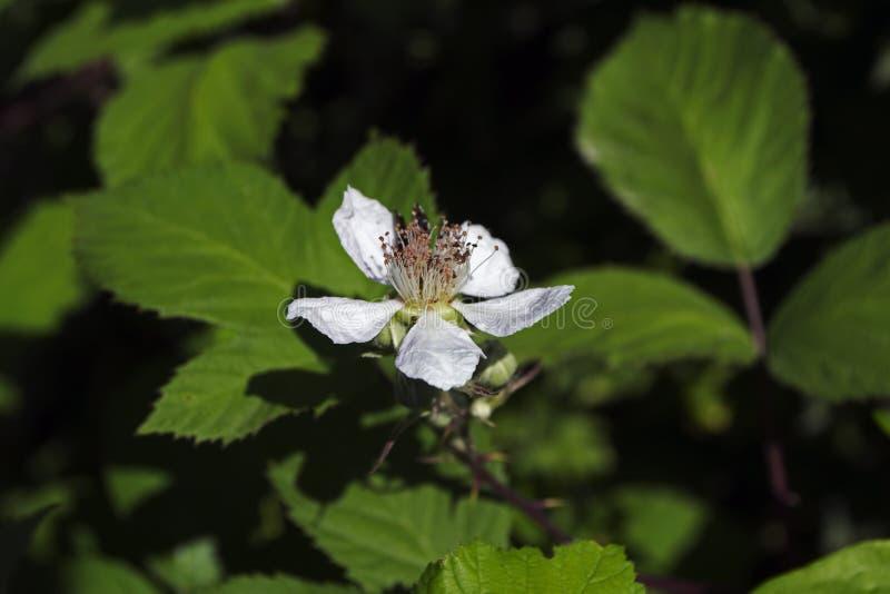 Άνθη του Blackberry στοκ εικόνες με δικαίωμα ελεύθερης χρήσης