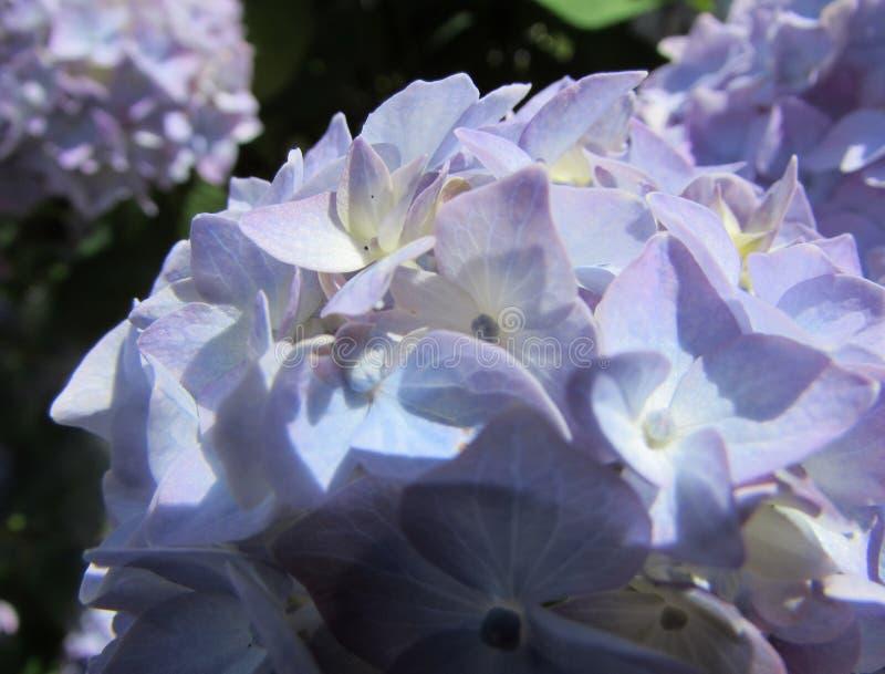Άνθη Hydrangea - μπλε στοκ φωτογραφίες με δικαίωμα ελεύθερης χρήσης