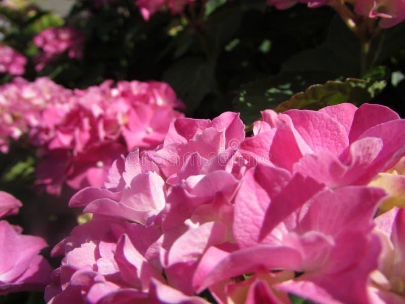 Άνθη Hydrangea - ροζ στοκ φωτογραφίες με δικαίωμα ελεύθερης χρήσης