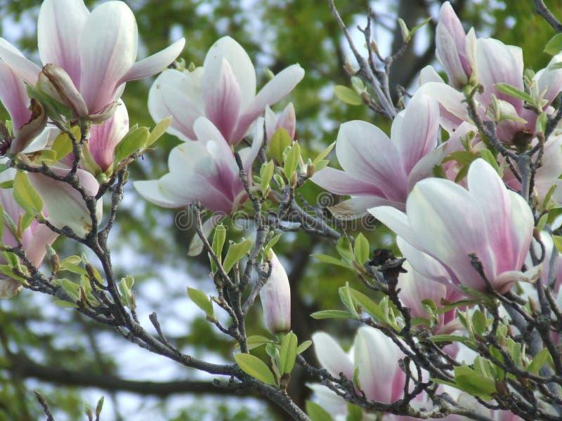 Άνθη Magnolia της άνοιξης στοκ φωτογραφία
