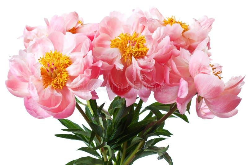 Άνθη Peony στο άσπρο υπόβαθρο στοκ φωτογραφία με δικαίωμα ελεύθερης χρήσης