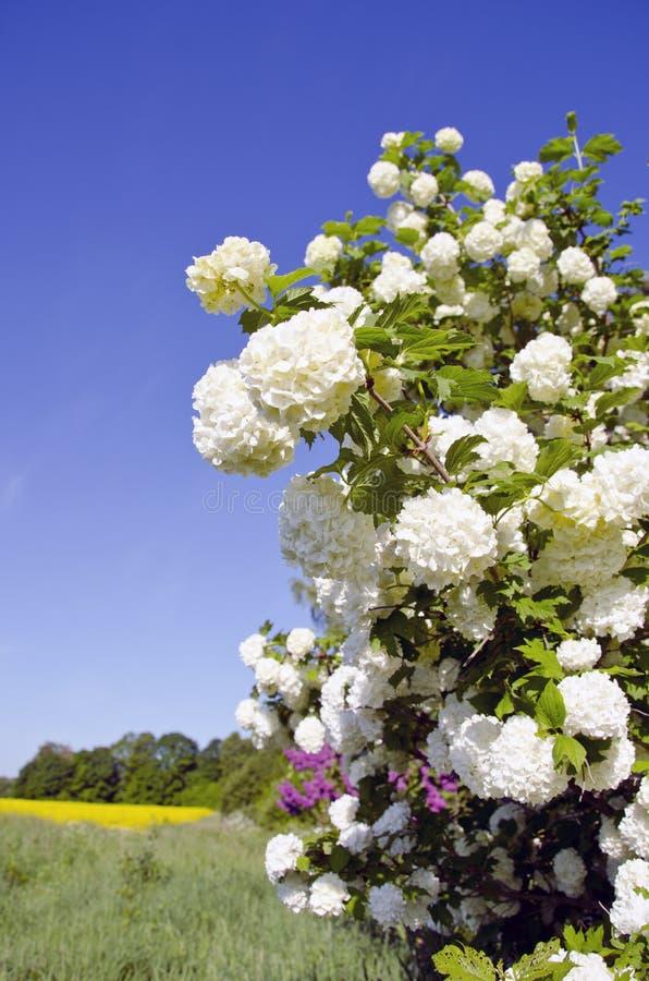 Άνθη viburnum άνοιξη και αγροτικό πεδίο στοκ εικόνες με δικαίωμα ελεύθερης χρήσης