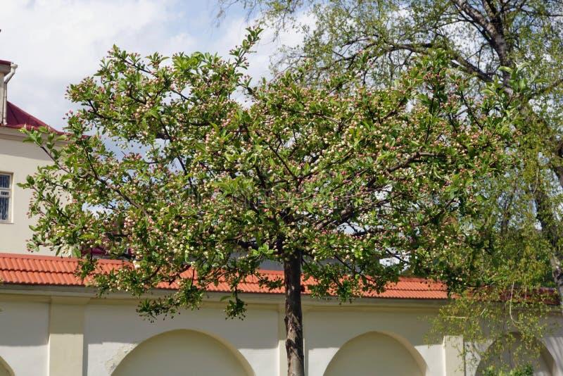 Άνθιση δέντρων της Apple την άνοιξη στο δημοτικό πάρκο πόλεων στοκ φωτογραφία με δικαίωμα ελεύθερης χρήσης