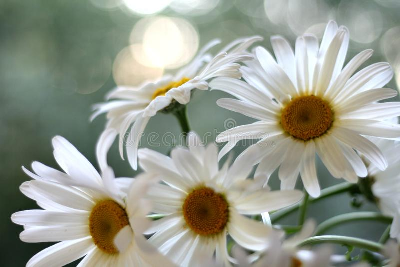 Άνθιση λουλουδιών Chamomiles, άσπρη με το θολωμένο υπόβαθρο, κινηματογράφηση σε πρώτο πλάνο ως υπόβαθρο στοκ φωτογραφίες