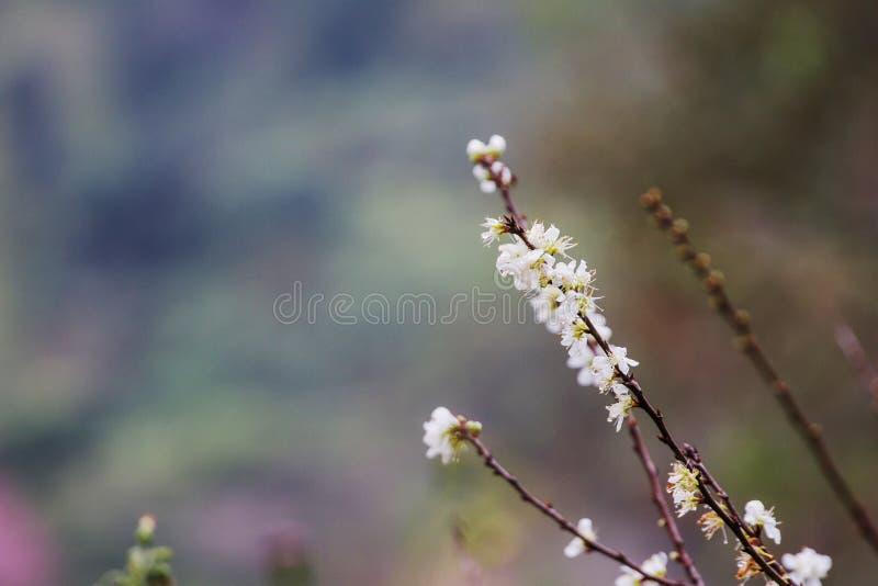 Άνθιση λουλουδιών Prunus mume στα χειμερινά ξύλα στο υπόβαθρο στοκ φωτογραφία με δικαίωμα ελεύθερης χρήσης