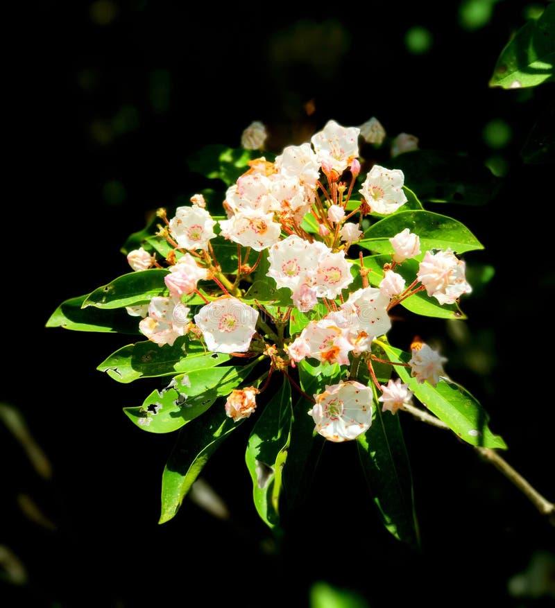 Άνθιση λουλουδιών δαφνών βουνών στοκ φωτογραφίες με δικαίωμα ελεύθερης χρήσης