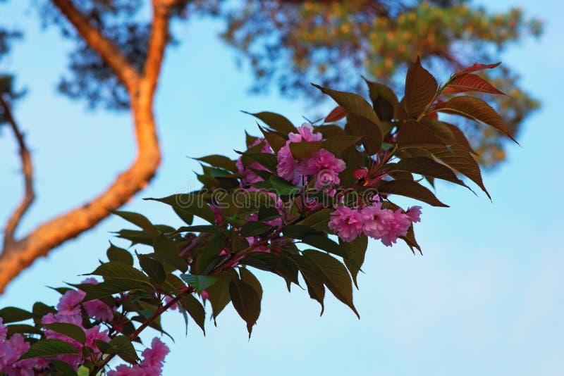 Άνθιση λουλουδιών Sakura όμορφο ροζ κερασιών ανθών στοκ φωτογραφίες με δικαίωμα ελεύθερης χρήσης