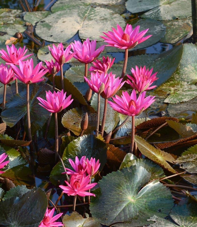 Άνθιση λουλουδιών Waterlily στοκ φωτογραφία με δικαίωμα ελεύθερης χρήσης