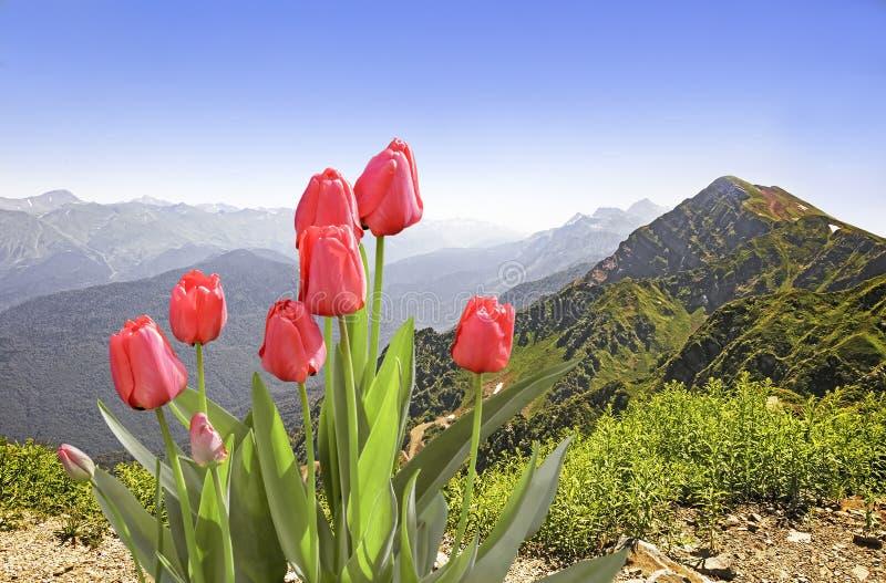 Άνθιση στις τουλίπες βουνών στοκ φωτογραφίες