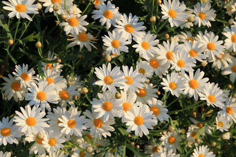 Άνθιση chamomiles στο λιβάδι στο ηλιοβασίλεμα στοκ εικόνες με δικαίωμα ελεύθερης χρήσης