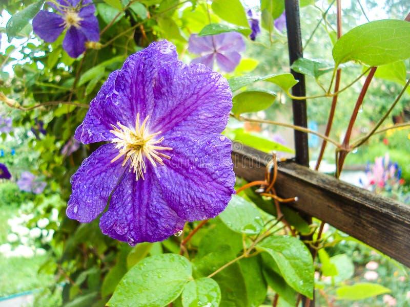 Άνθιση Clematis σε έναν κήπο κατακόρυφης καλλιέργειας Πολυάριθμα ιώδη λουλούδια Clematis στοκ εικόνες