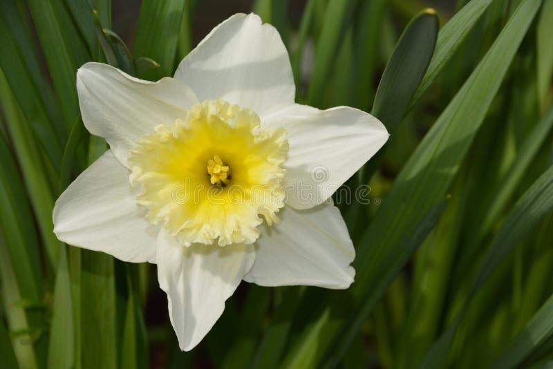 Άνθιση Daffodil στοκ εικόνες