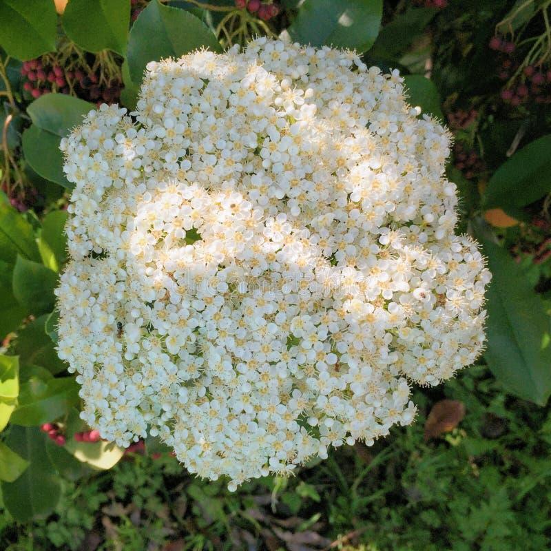 Άνθιση Hydrangea στοκ εικόνες