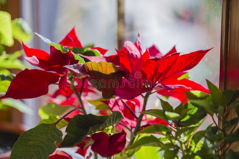 Άνθιση Poinsettia στο παράθυρο, όμορφο κόκκινο λουλούδι αστεριών Χριστουγέννων στοκ εικόνα