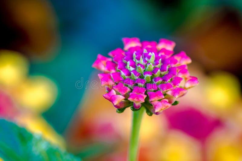 Άνθιση Zinnia και λουλούδια Lantana στοκ φωτογραφία με δικαίωμα ελεύθερης χρήσης