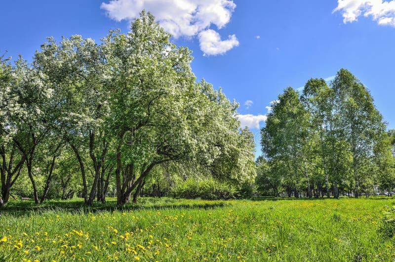 Άνθισμα άνοιξη του μήλου και του κερασιού σε ένα πάρκο πόλεων σε έναν φωτεινό στοκ εικόνες