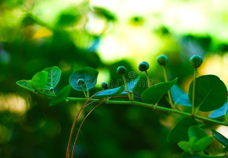 Άνθισμα, κάπαρη, φυτό, στοκ φωτογραφίες