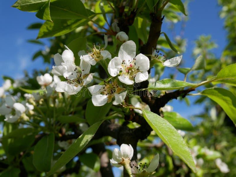 Άνθισμα των οπωρωφόρων δέντρων την πρώιμη άνοιξη Λεπτά ρόδινα λουλούδια του αχλαδιού στοκ εικόνες με δικαίωμα ελεύθερης χρήσης