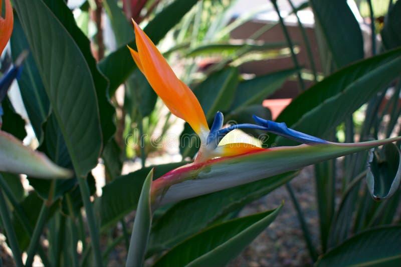 Άνθισμα των πουλιών του παραδείσου Strelitzia Reginae στοκ εικόνες