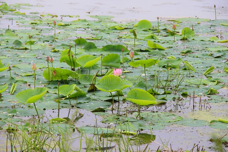 Άνθισμα των lotuses σε μια λίμνη/μια λίμνη με τα lotuses και τους κρίνους νερού/ στοκ φωτογραφίες