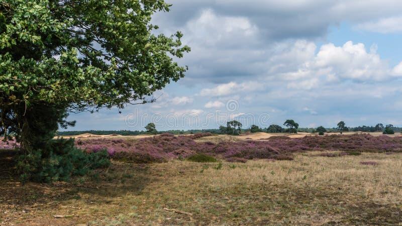 Άνθισμα Heather στο τοπίο Hoge Veluwe στοκ φωτογραφίες