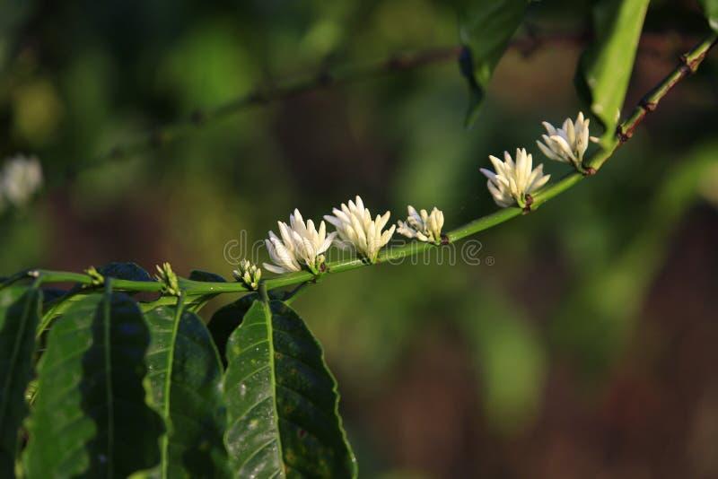 Άνθος δέντρων καφέ στοκ φωτογραφία με δικαίωμα ελεύθερης χρήσης