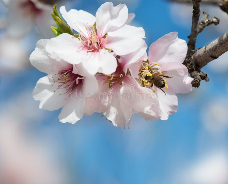 Άνθος και μέλισσα αμυγδάλων στοκ εικόνα με δικαίωμα ελεύθερης χρήσης