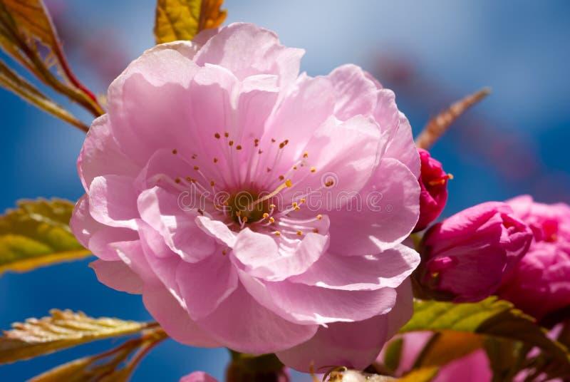 Άνθος κερασιάς Ανθίζει η Sakura στοκ φωτογραφία