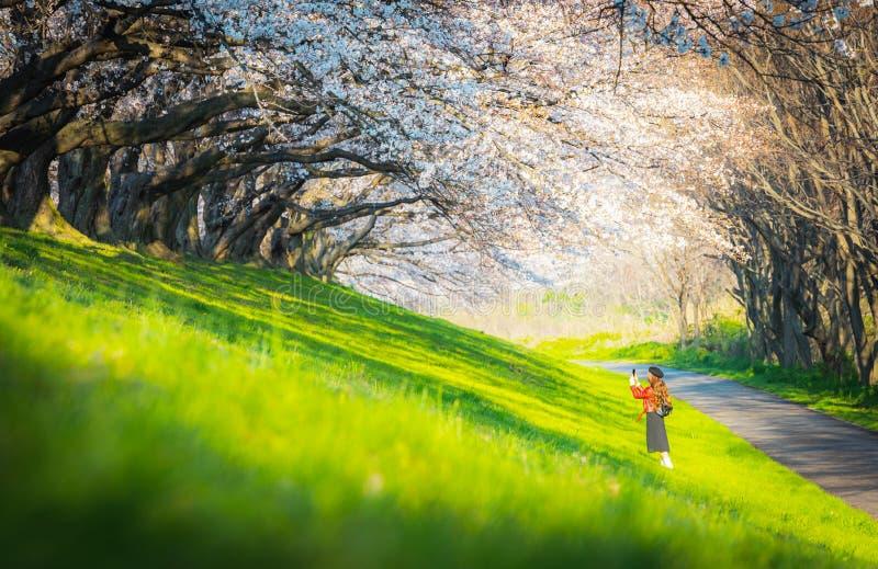 Άνθος κερασιάς στο πάρκο, ένας ρομαντικός δρόμος με άνθη κερασιάς στην Ιαπωνία στοκ φωτογραφία