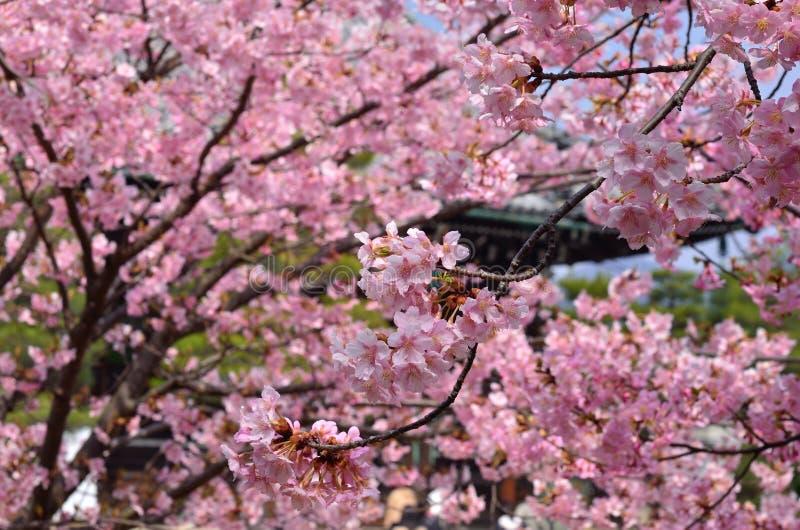 Άνθος κερασιών κάτω από την ηλιόλουστη ημέρα, Κιότο Ιαπωνία στοκ φωτογραφία