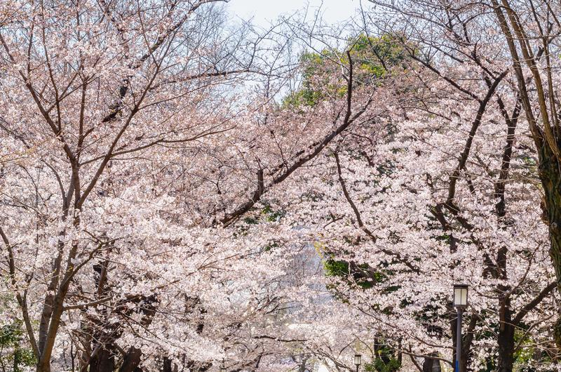 Άνθος κερασιών που ανθίζει στα δέντρα επάνω από την οδό περπατήματος στην Ιαπωνία στοκ εικόνα με δικαίωμα ελεύθερης χρήσης